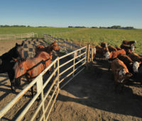 Horses and cattle sharing fence