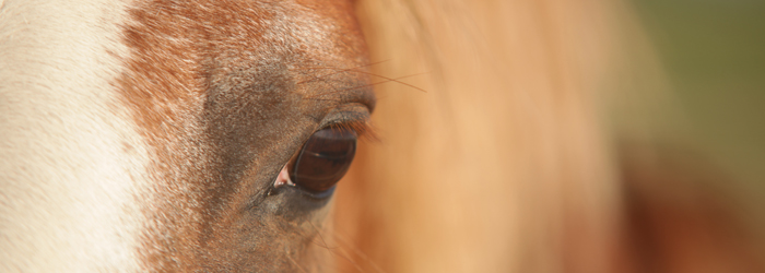 Goodale horse eye closeup