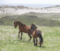 Two ponies frolic on the Sable Island National Park Reserve off of the Nova Scotia coast. Photo courtesy of Philip McLoughlin.