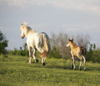 A WCVM equine lung study has confirmed that foals are born with all of their respiratory components present and functioning. Photo: Myrna MacDonald.