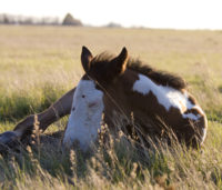During the first few months of their lives, foals are highly susceptible to bacterial infections and toxins because of their immature immune system. Photo: Myrna MacDonald.