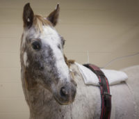 Tuffy, an 18-year-old Appaloosa gelding, was found with a two-foot stick lodged his chest. Photo: Christina Weese.