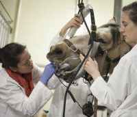 Internal medicine resident Dr. Carolina Duran performs a dental exam on an equine patient. Photo: Christina Weese.