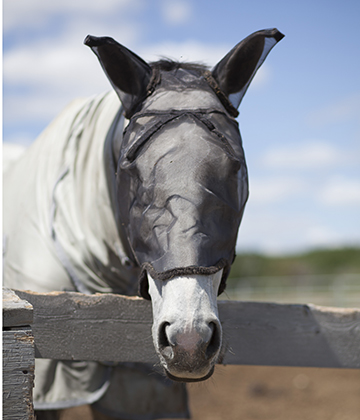 Fly masks and fly sheets, along with insect repellents, can help to protect horses from large biting flies.