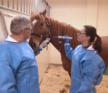Dr. Spencer Barber (left) and graduate student Dr. Suzanne Mund administer stem cells intravenously to one of the horses involved in their wound healing study. Submitted photo.