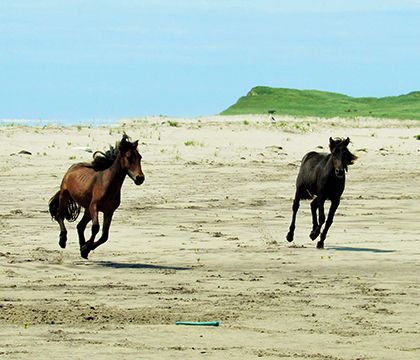 Feral horses run freely on the beaches of Sable Island. Photo by Amber Backwell.