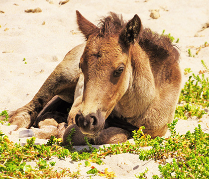 A foal rests on the beach. Photo by Amber Backwell.