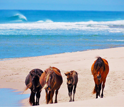 A family of horses walk the Sable Island beach. Photo by Amber Backwell.