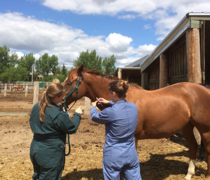 WCVM student, Jacqueline Harrison, learning how to bleed a horse with the help of her summer project supervisor, Dr. Stacy Anderson. Photo submitted by Jacqueline Harrison.