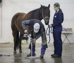 n addition to therapeutic hoof trimming, WCVM researchers are testing whether extracorporeal shockwave therapy can treat caudal heel pain. Photo: Christina Weese.