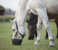 horses-muzzle